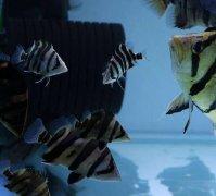印尼虎鱼混养推荐方法