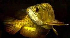 为什么金龙鱼那么贵?