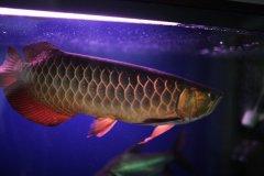 养金龙鱼水温多少合适?