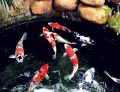 锦鲤鱼吃啥好吃什么长得