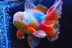 金鱼的价格多少钱一条?