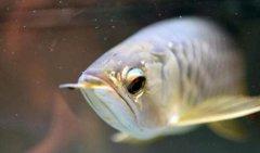银龙鱼怎么繁殖需要注意