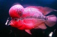 罗汉鱼能活几年怎么养活的长