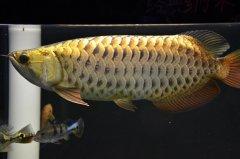 金龙鱼生活在哪里?