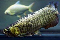 金龙鱼养殖技术详细介绍