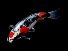 锦鲤鱼怎么养长的快?