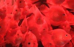 鹦鹉鱼饲养密度