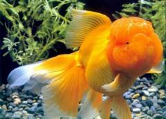 金鱼如何分辨公母?