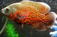 地图鱼吃什么长得快?
