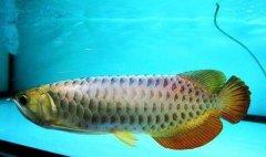 金龙鱼繁殖方法6点解析