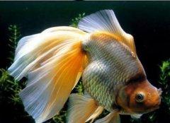 金鱼的喂养方法有哪些要注意