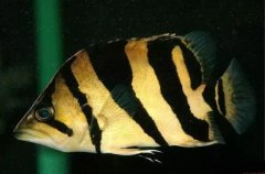 小虎鱼吃什么长得快注意