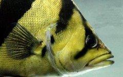 养印尼虎鱼长期开灯吗?