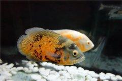 地图鱼繁殖方法有哪些需