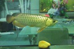 金龙鱼怎么养长得快?