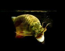 龙鱼之家谈金龙鱼吃什么
