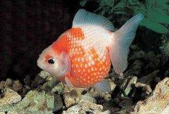 金鱼凸眼病症怎么治疗?