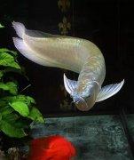银龙鱼怎么养吃什么长得快?