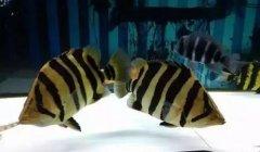 观赏鱼中虎鱼吃什么比较