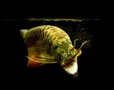 观赏鱼养金龙鱼水温多少合适