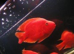 鹦鹉鱼繁殖技术和条件?
