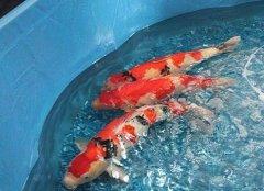 锦鲤养殖:锦鲤养殖方法注意哪