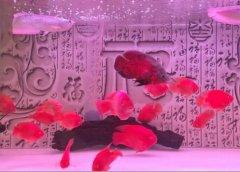鹦鹉鱼怎么养:鹦鹉鱼吃什么变红