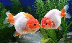 金鱼怎么养:金鱼吃什么比