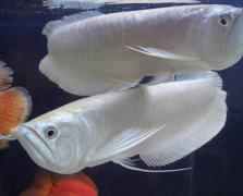 银龙鱼怎么养:银龙鱼病了如何