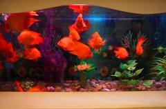 红鹦鹉鱼不吃食原因解绝