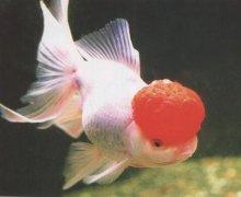 金鱼凸眼病和治疗方法?