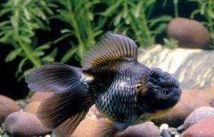 金鱼腮病症状和治疗方法