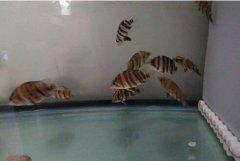 养印尼小虎鱼的技巧怎么
