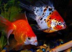 观赏鱼养金鱼吃什么食物