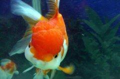 家养金鱼生病吃什么药?