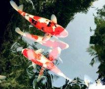 观赏鱼养锦鲤的注意事项有哪