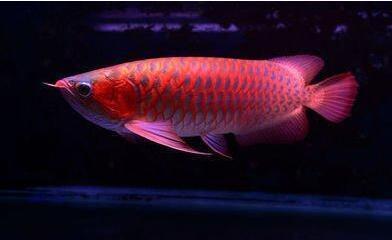 新加坡红龙鱼视频_金龙鱼相关