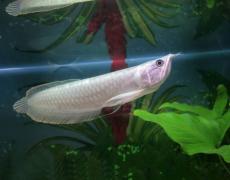 观赏鱼银龙鱼图片