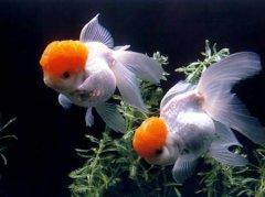 养小金鱼没有饲料吃什么