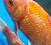 观赏鱼锦鲤身上有白霜如何治