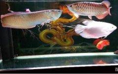 银龙鱼和招财鱼适合混养吗?