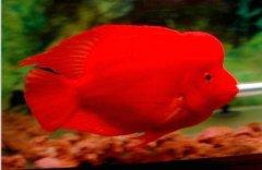 红元宝鹦鹉鱼吃什么比较