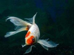 锦鲤鱼养殖方法和条件有哪些?