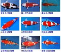 锦鲤鱼品种大全介绍?