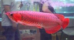 红金龙鱼价格一般多少钱