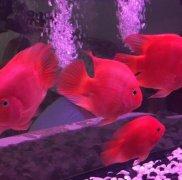 鹦鹉鱼吃什么增加红色?