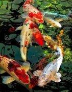 观赏鱼锦鲤鱼怎么养长得快?