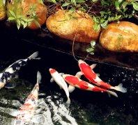 锦鲤鱼病诊断与防治?