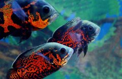 地图鱼常见病掉磷病怎么