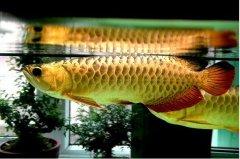 金龙鱼寿命是几年能活多久?